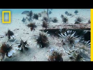 Florida's Fight Against The Lionfish Invasion
